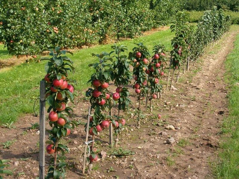 ранние сорта колоновидных яблонь