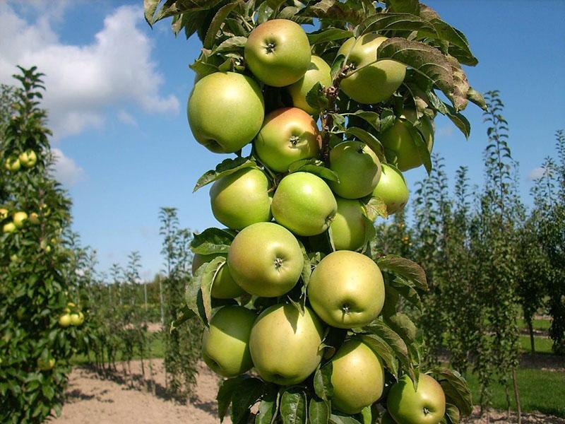 осенние сорта колоновидных яблонь