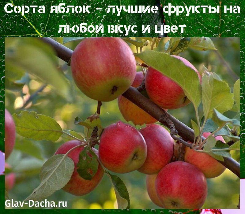сорта яблок для дачи