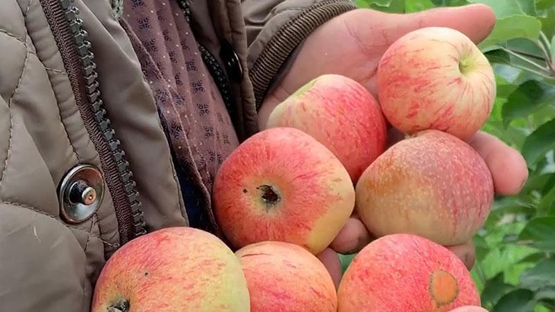 сорта яблок раннего созревания