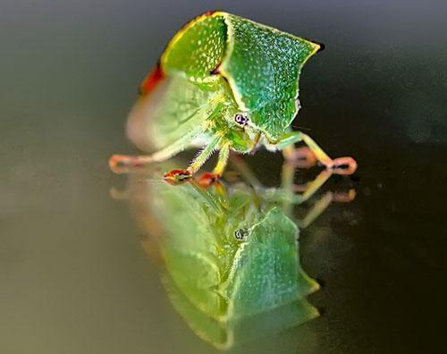 Буйволиная цикадка