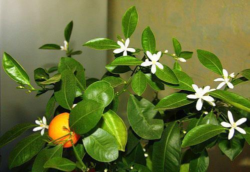 Цветет комнатный мандарин