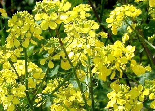Цветет масличная редька