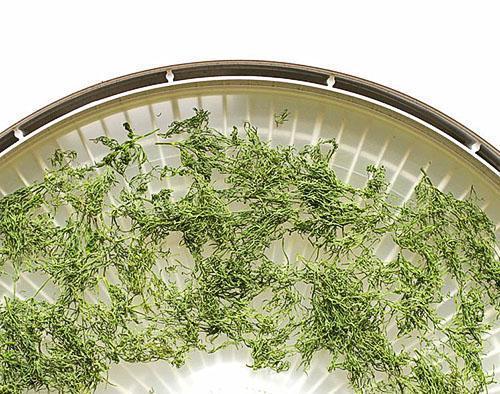 Для сушки укропа используется специализированная сушилка