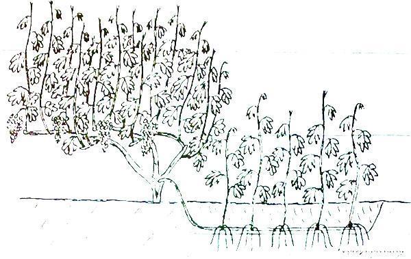 Китайский способ размножения винограда