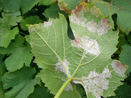 Листья пораженные милдью