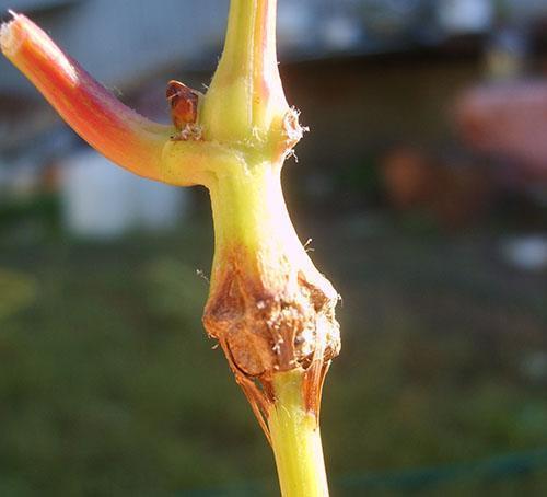 Лоза винограда, пораженная буйволиной цикадкой