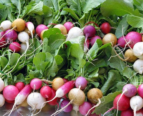 Чем хорош редис белый: сорта, способы выращивания, ценность и вкусовые качества
