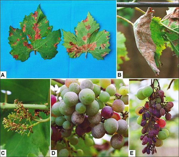 Милдью поражает все части куста винограда