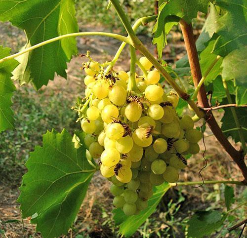 На виноградном кусте поселились осы
