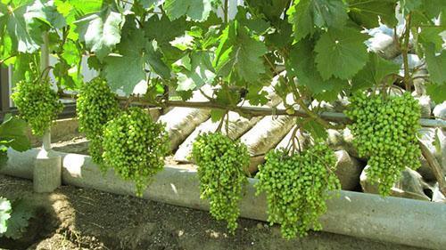 Наливаются ягоды Велеса