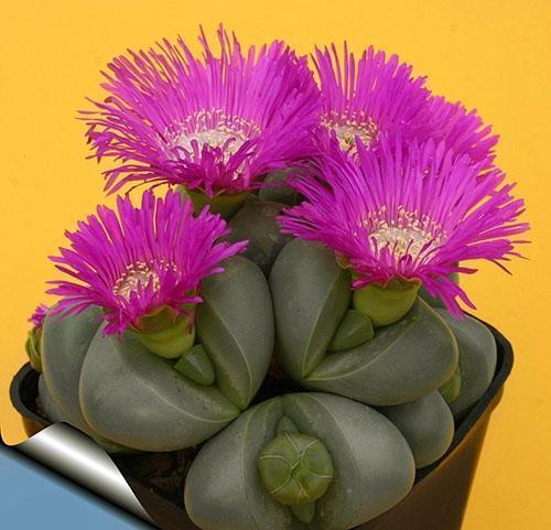 Нежные цветы литопса
