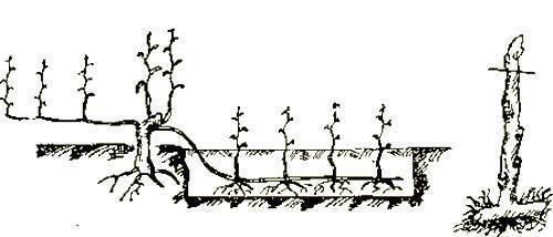 Новые кусты винограда из горизонтальных отводков