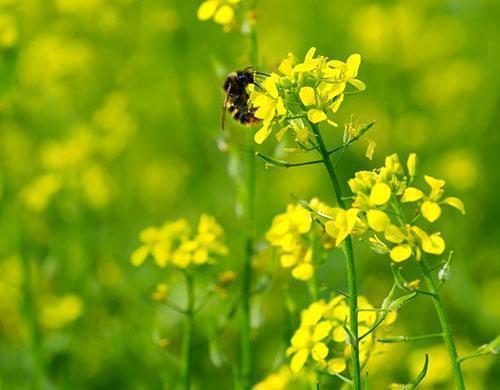 Пчелы просто обожают цвет масличной редьки