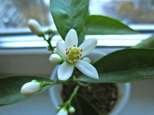 Первый раз цветет мандарин из косточки