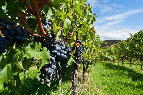 Посадки технических сортов винограда