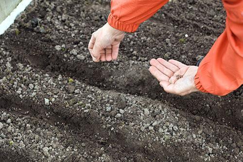 Посев петрушки корневой под зиму