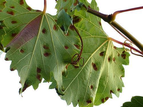Поврежденные листья винограда
