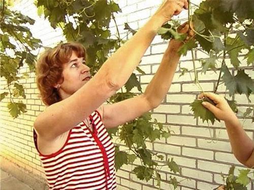 Прищипывание и чеканка винограда в Сибири