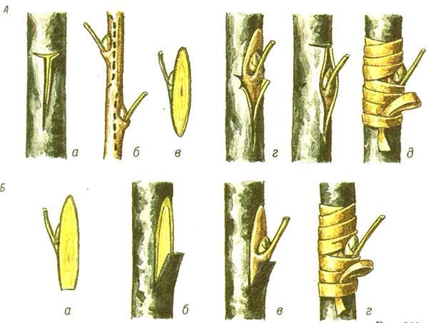 Привой почки плодоносящего мандарина на выращенный из косточки саженец