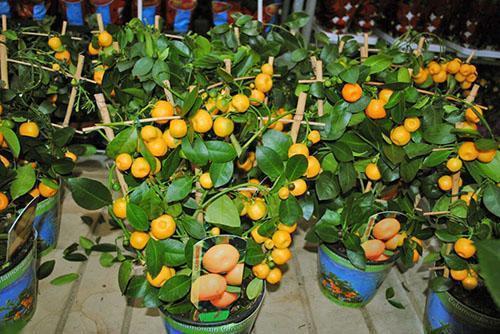 Продажа плодоносящего комнатного мандарина