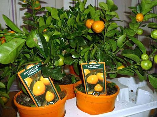 Продажа плодоносящих мандарин