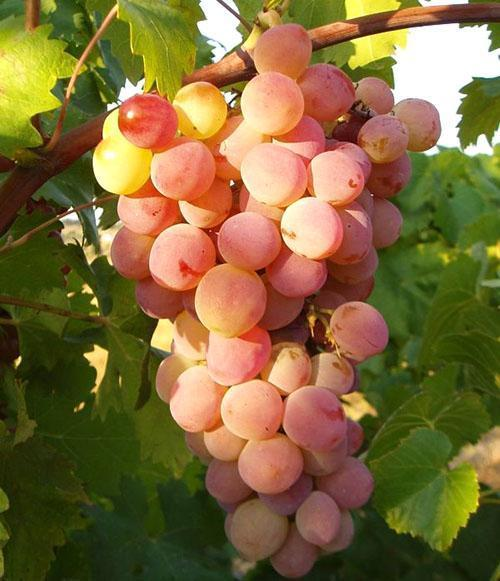 Ранний сорт винограда