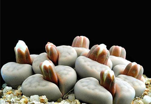 Расцветают литопсы