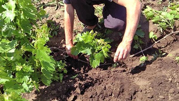 Размножение виноградного куста отводком