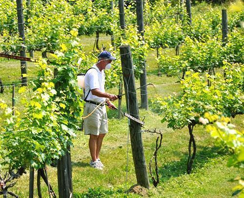 Ручная обработка винограда фунгицидами