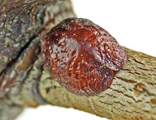 Щитовки на лозе винограда