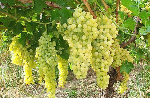 Обработка винограда весной от вредителей и болезней