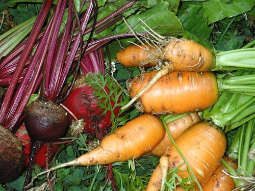 Собранные с грядки овощи