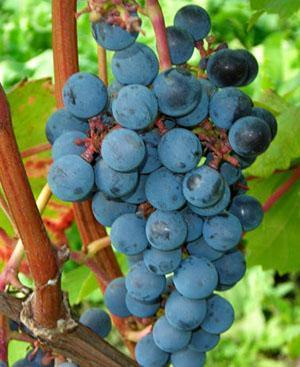 Виноград может быть поражен вредителями