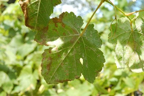 Состояние листвы после заражения виноградным зуднем