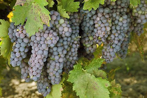 Созревают виноградные грозди
