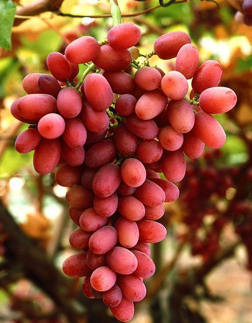 Столовый сорт винограда