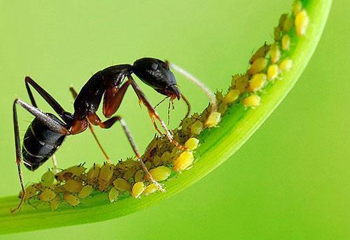 Тлю распространяют муравьи