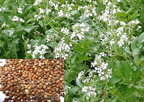 У масличной редьки не корнеплода, а только цветы и семена