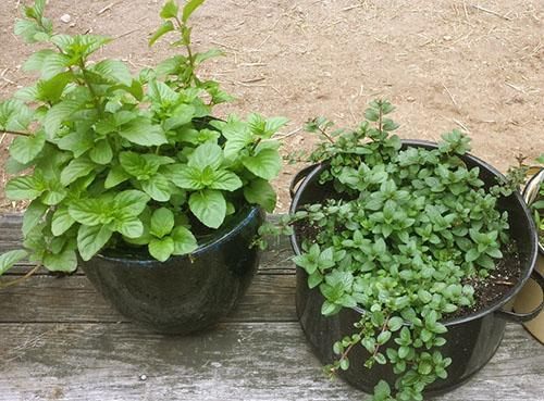 Можно ли выращивать мяту в домашних условиях?