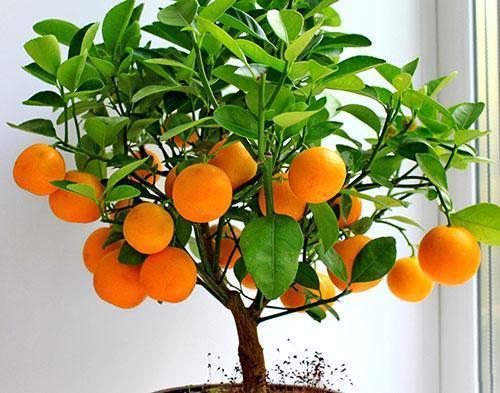 Урожай апельсин в домашних условиях