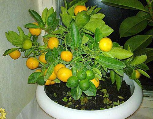 Урожай мандарин на подоконнике
