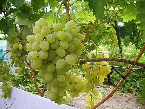 Урожай с молодого куста винограда