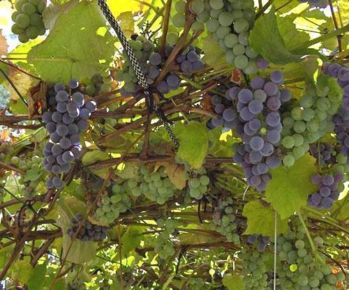 Урожай винограда в Восточной Сибири