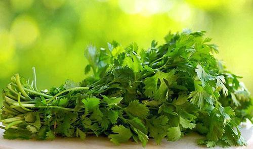 Урожай зелени кинзы