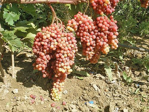 Велес регулярно дает высокие урожаи