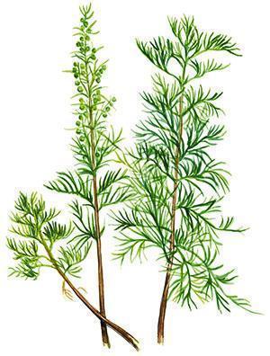 Ветки укропного дерева