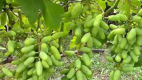Виноград после использования микробиологических удобрений