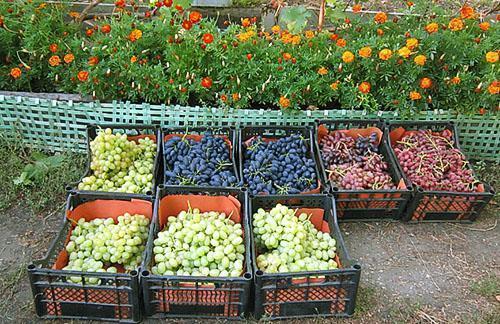 Виноград собран на продажу