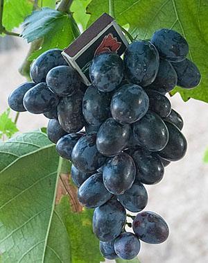 Виноград сорта Хаджи Мурат